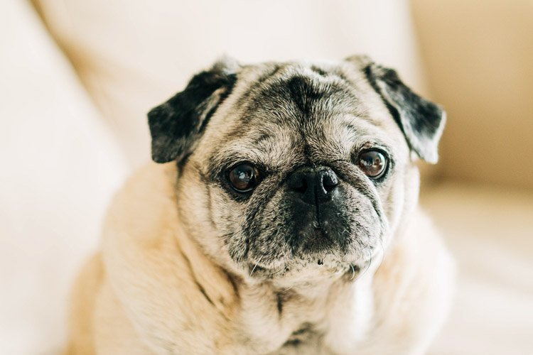 Fawn pug sitting on a tan couch looking at the camera